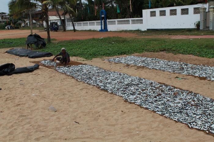 Негомбо. Рыбаки раскладывают свою добычу.