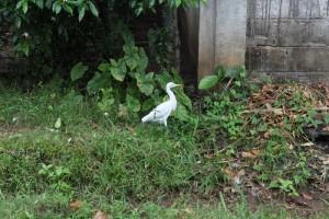 Анурадхапура. Птичка похожая на цаплю.