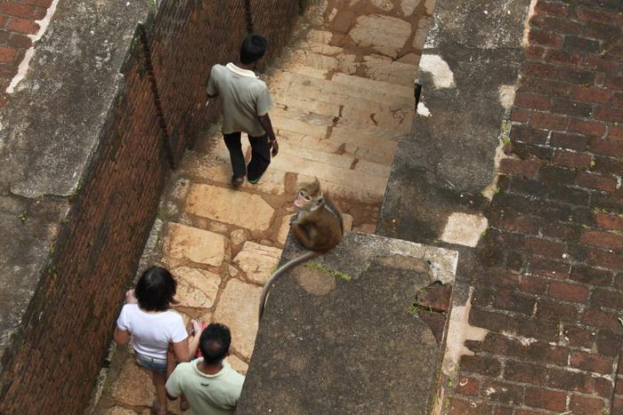 Шри-Ланка. Сигирия. Любопытные макаки.