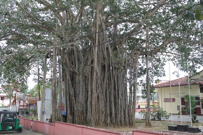 Тангалле. Фиговое дерево по дороге к FoodCity.