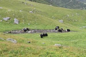 Киргизия. Яки по дороге на Адыгене.