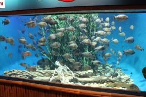 Куала-Лумпур. Океанариум Aquaria. Пираньи.