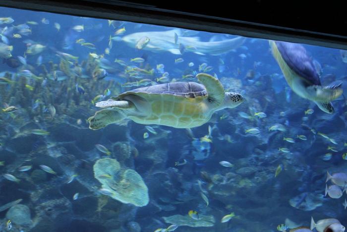 Куала-Лумпур. Океанариум Aquaria. Морская черепаха.