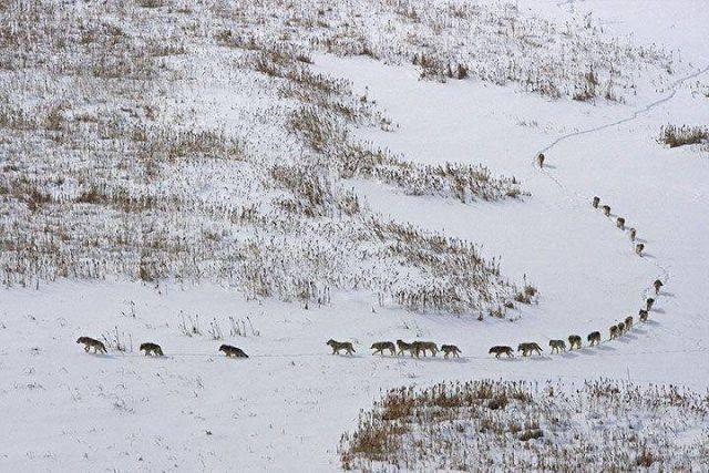 Киргизия. Волки в районе Ак-Тюза.