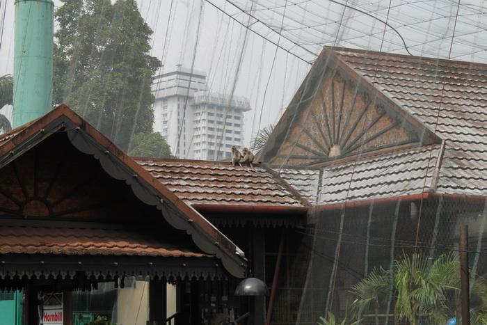 Куала-Лумпур. Обезьяны у парка птиц.