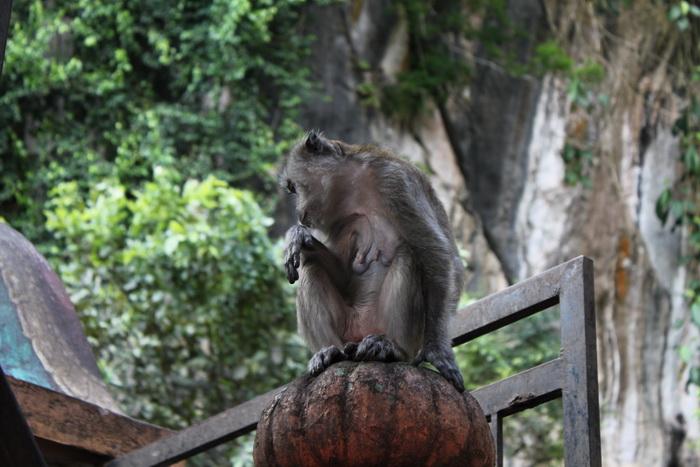 Куала-Лумпур. Обезьяны в пещерах Бату.