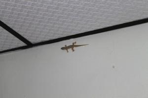 Мерсинг. Геккон в комнате отеля.