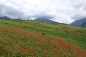 Киргизия. Май. Маковые поля.