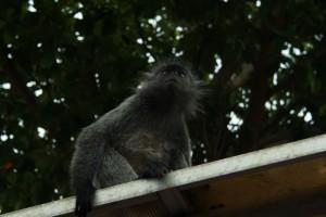 Куала-Селангор. Серые обезьяны.