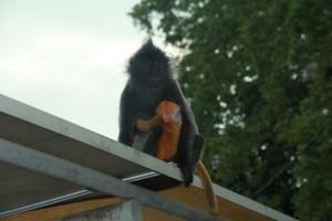 Куала-Селангор. Оранжевые обезьянки.