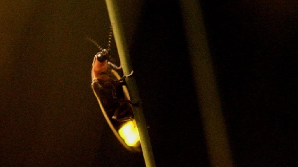 Куала-Селангор. Светлячок. Келип-келип.