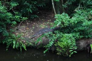 Сингапур. Зоопарк. Крокодил.