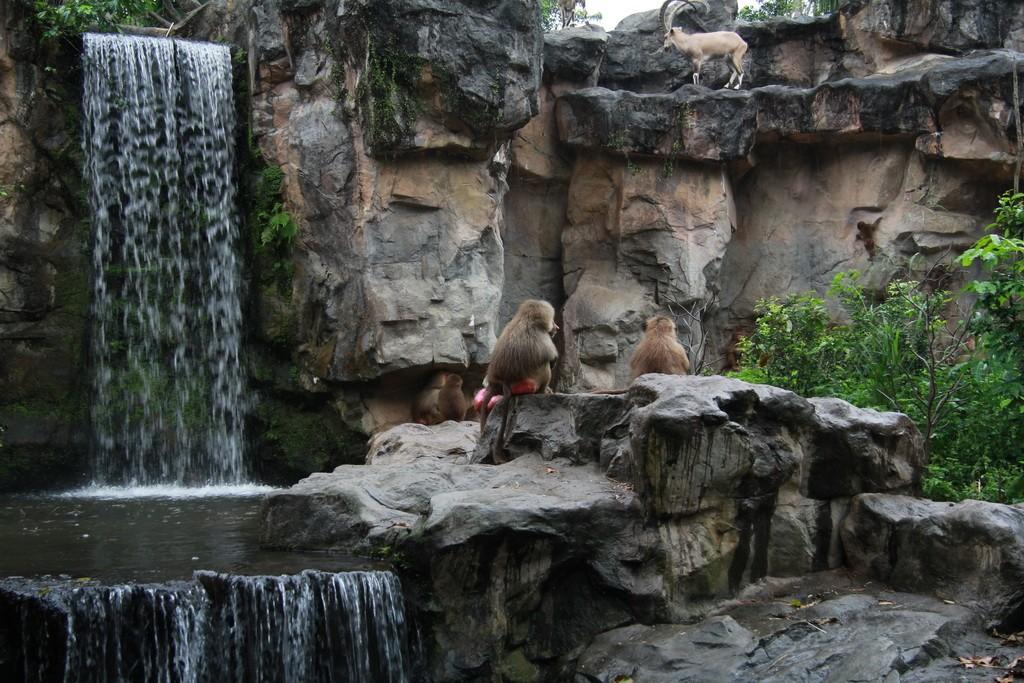 Сингапур. Зоопарк. Бабуины.