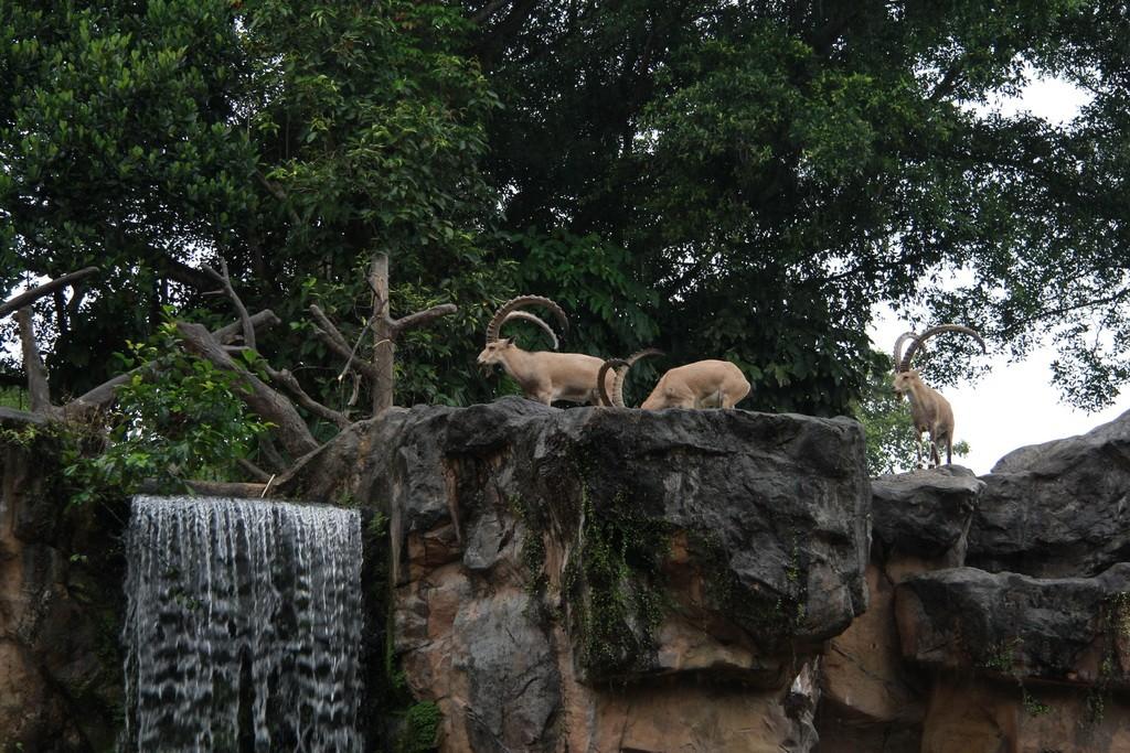 Сингапур. Зоопарк. Горные козлы.