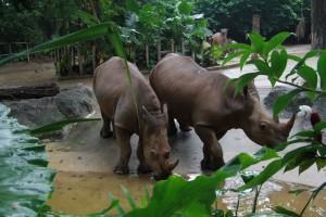 Сингапур. Зоопарк. Носороги.