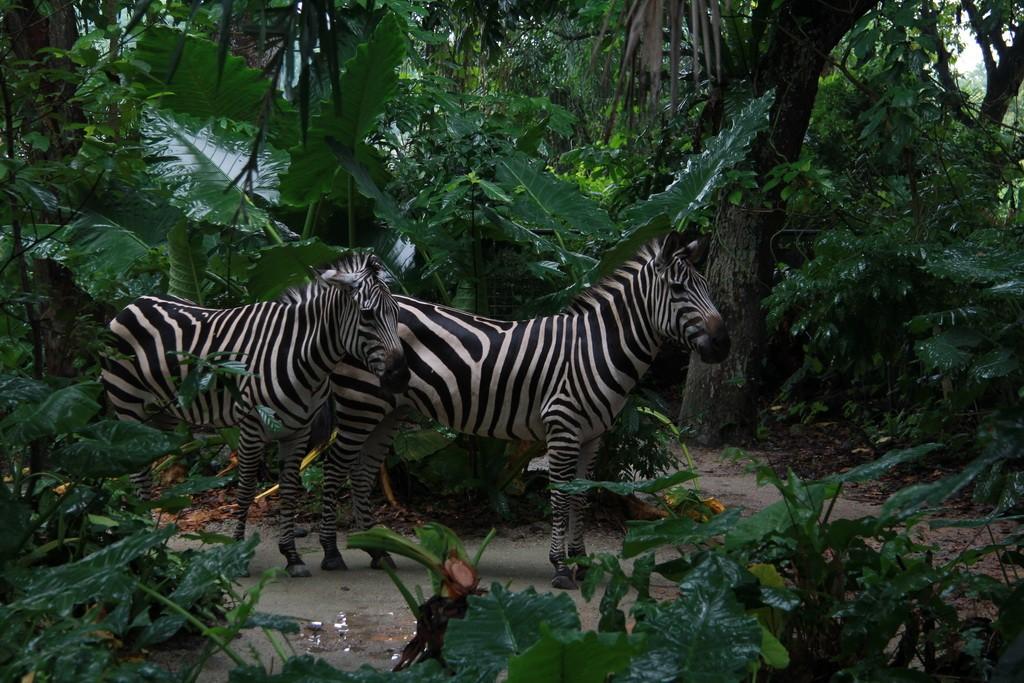 Сингапур. Зоопарк. Зебры.