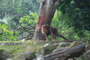 Сингапур. Зоопарк. Лев.