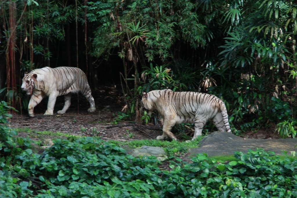 Сингапур. Зоопарк. Белые тигры.