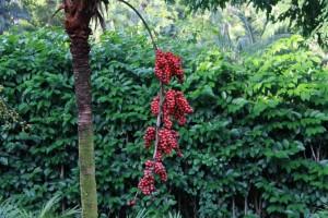 Сингапур. Ботанический сад. Кофе.