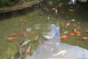 Сингапур. Парк птиц. Пруд с карпами и черепахами.