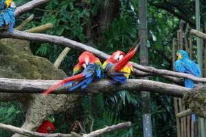 Сингапур. Парк птиц Джуронг. Попугаи Ара.