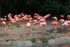 Сингапур. Парк птиц. Фламинго.