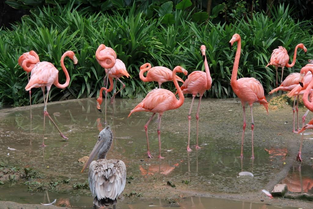 Сингапур. Парк птиц Джуронг. Фламинго.