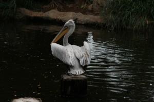Сингапур. Парк птиц Jurong. Пеликан.