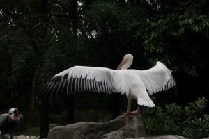 Сингапур. Парк птиц Джуронг. Пеликан.