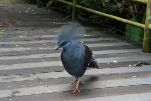 Сингапур. Парк птиц. Мега голубь с хохолком.