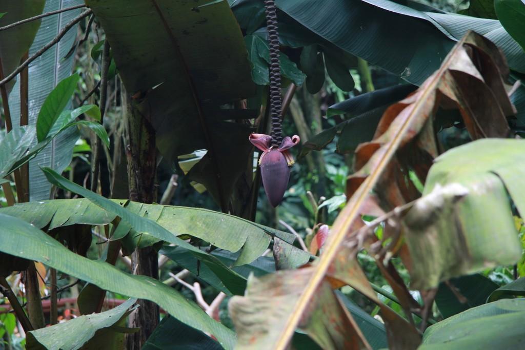 Сингапур. Парк птиц. Цветок банана.