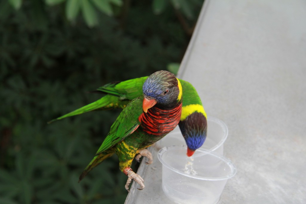 Сингапур. Парк птиц Jurong. Попугаи Лори.