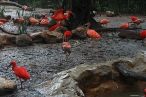 Сингапур. Парк птиц Jurong. Розовые цапли.