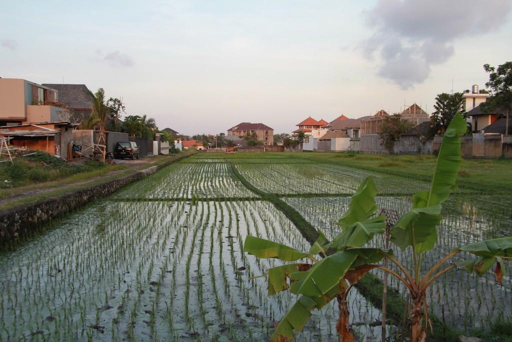 Бали. Чангу. Рисовые плантации.