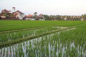 Бали. Рисовые поля Чангу.