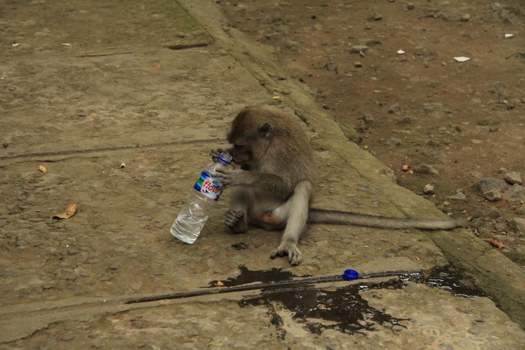 Лес обезьян в Убуде. Макаки.