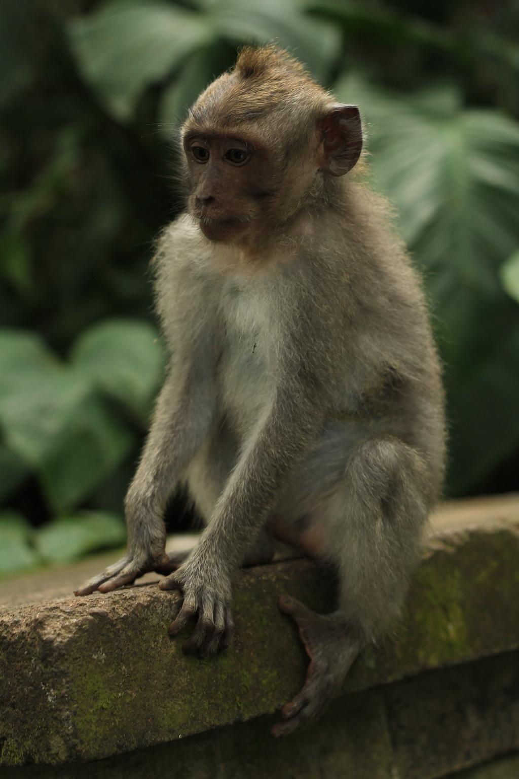 Бали. Лес обезьян в Убуде.