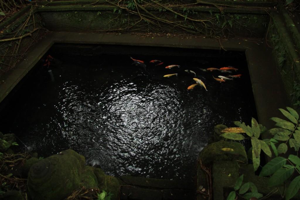 Золотые карпы в пруду леса обезьян в Убуде.