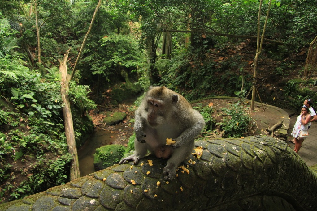 Убуд. Лес обезьян. Альфа самец макаки.