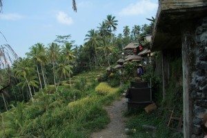 Бали. Рисовые террасы Убуда.