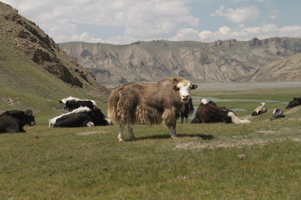 Яки по дороге на Коль Суу. Киргизия.